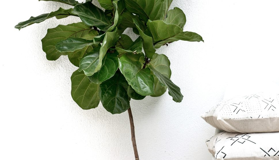 Fiddle Leaf Fig Tree Care Tips